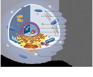 Afbeeldingsresultaat voor menselijke cel