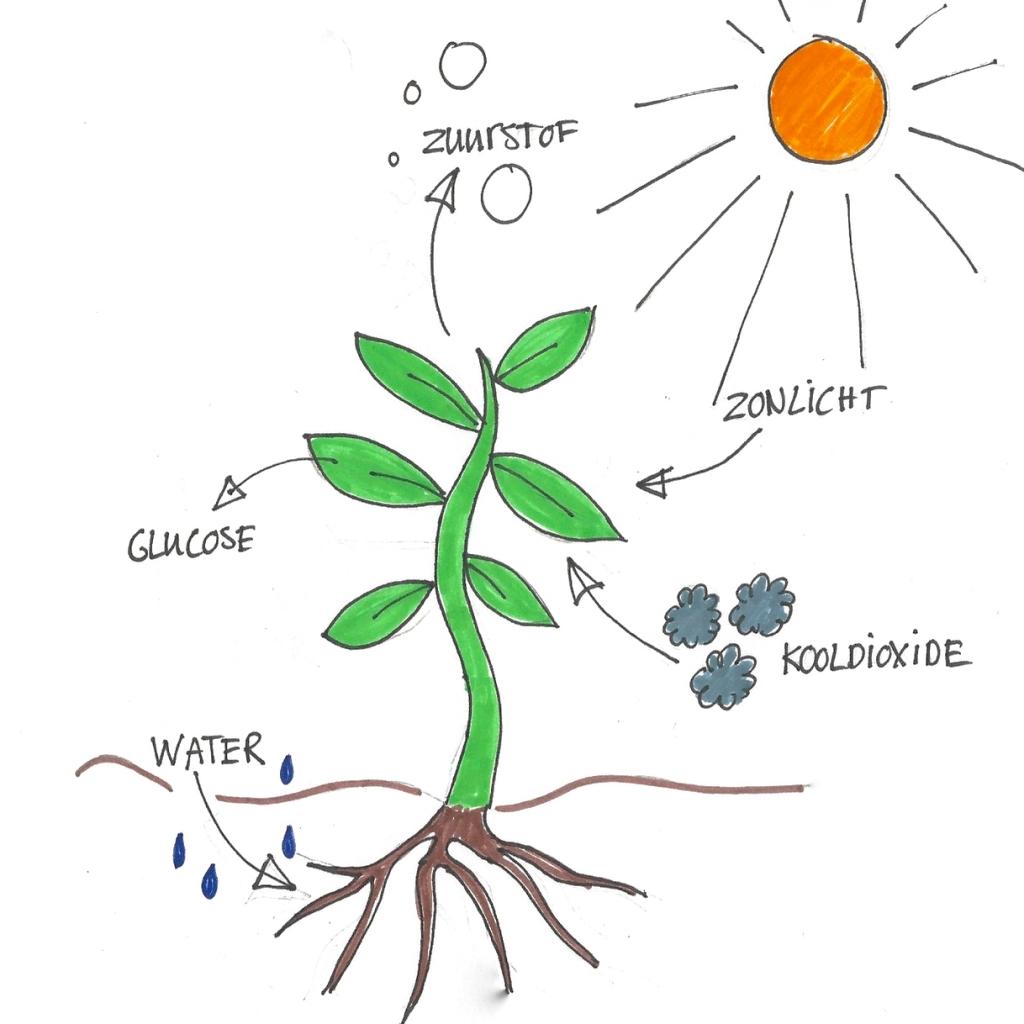 fotosynthese 1 lesmateriaal wikiwijs