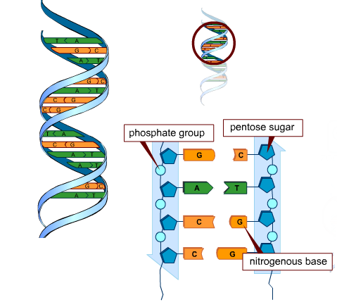 Building Blocks Dna Molecule