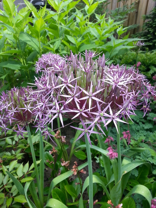 Allium in bloei