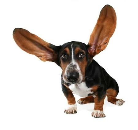 Training Dog Ears To Stand Up