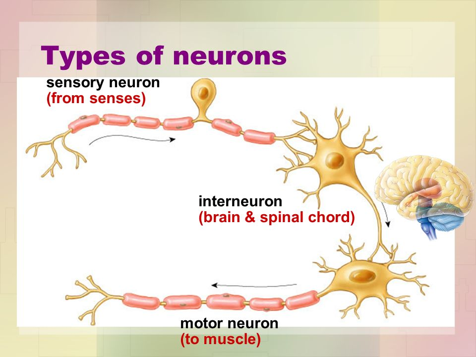 3 types of neurons - Template